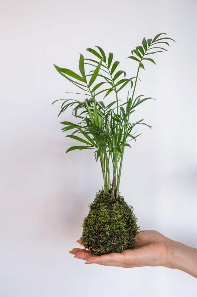 Biljka iz porodice palme